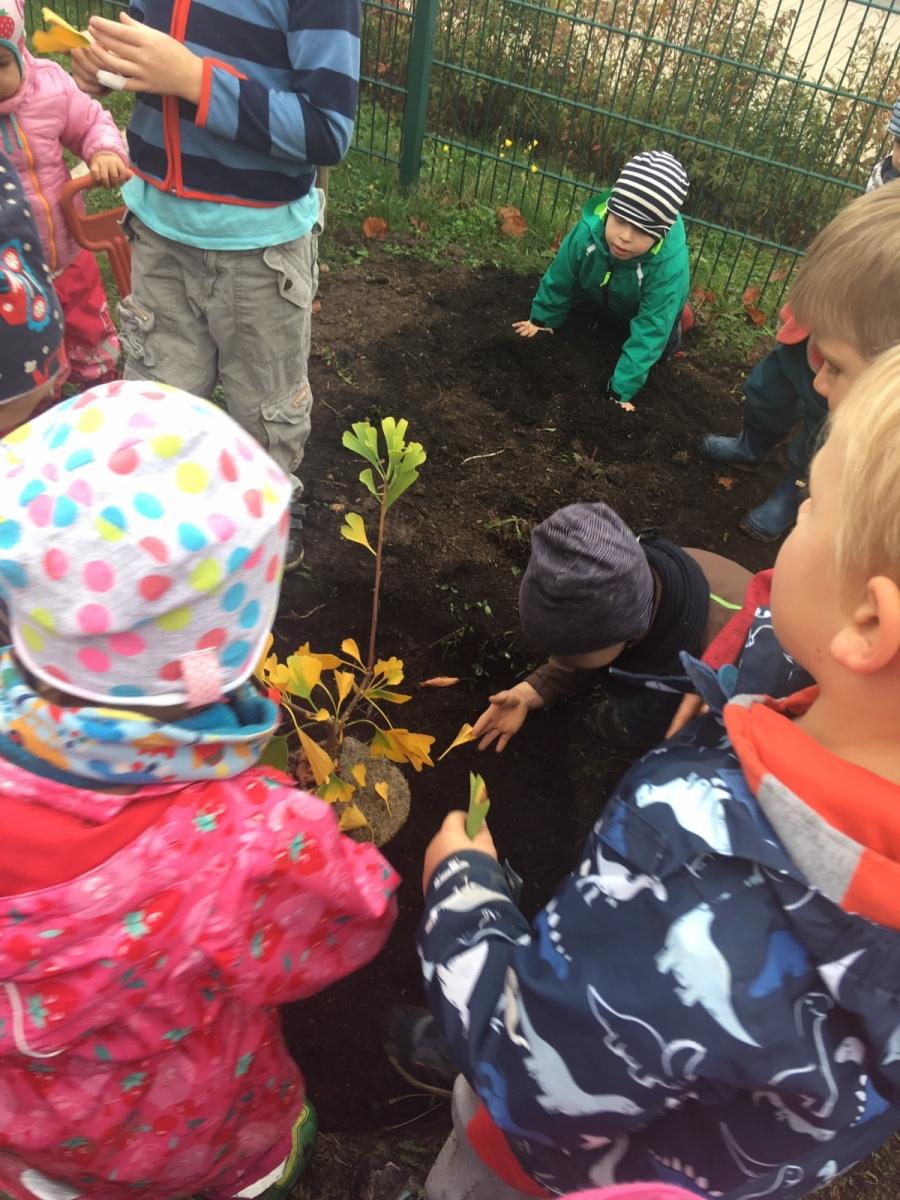 Einen Gingko pflanzen die Kinder im Montessori-Kinderhaus Sausewind in Bürgel - 23.10.2019